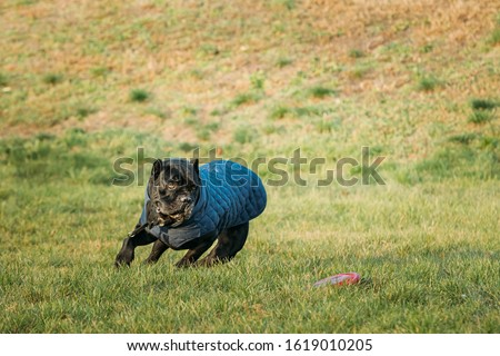 Active Black Cane Corso Dog Play Running With Plate Toy Outdoor In Park. Dog Wears In Warm Clothes. Big Dog Breeds. #1619010205