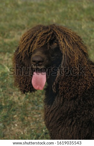 Irish Water Spaniel Dog, Portrait of Adult with Tongue out   #1619035543