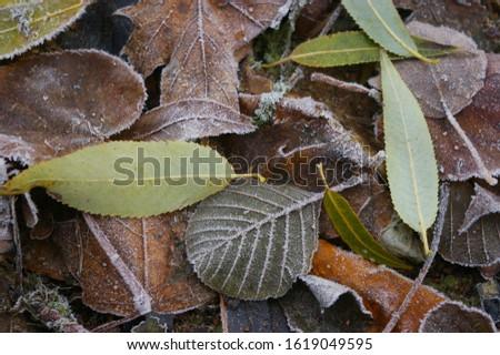 hoarfrost on margin and vein of foliages .fallen foliage in autumm. #1619049595