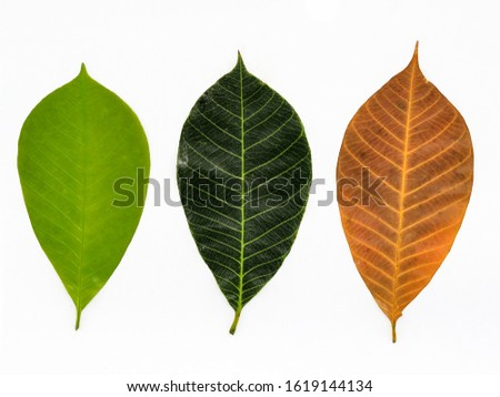 Collection of rubber leaves With fresh rubber leaves and  The rubber leaves   begin to dry. #1619144134
