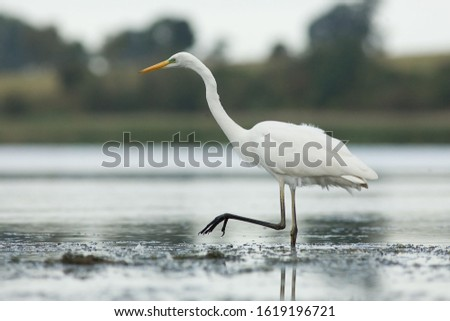Western Great Egret-The Great Egret (Ardea alba), also known as common egret, large egret or great white heron , is a large, widely distributed egret.  #1619196721