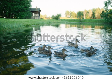 Wild birds, wild ducks, Wild birds, wild ducks, pond outside the city, end of summer, weekend in nature, nature, beautiful places, outdoor recreation  #1619226040