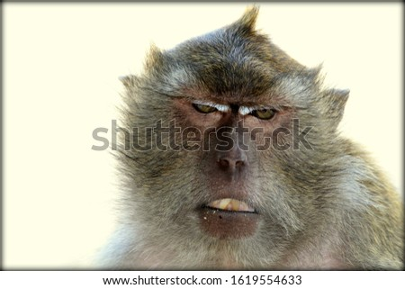 Macaque Monkey in the Monkey Island, Phuket (Close-up of face) #1619554633