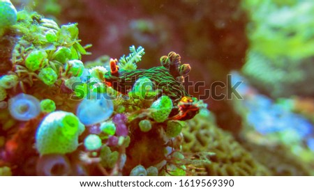 Underwater picture of Nembrotha kubaryana. Colorful sea slug dorid nudibranch crawling on a stony coral, close up. Variable neon slug or dusky nembrotha. Picture was taken in Tulamben, Bali, Indonesia