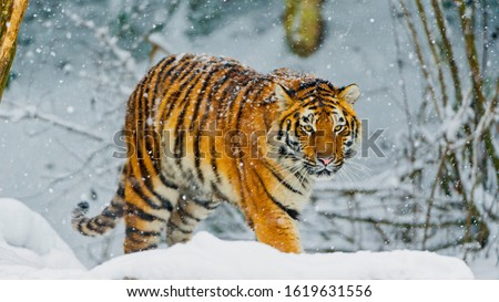 bengal tiger snowfall winter 4k stock photo