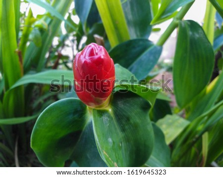 Indian Head Ginger. nature​ beautiful. red. #1619645323