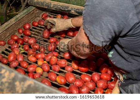 Cleaning and selection in the tomato harvester harvested during harvest in the field for ketchup. #1619653618