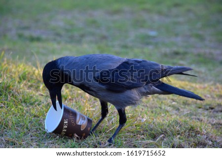 Single crow bird looking for food on the grass in the park, holding disposable hot coffee paper cup in it's beak (made from paper AND plastic coated, non compostable material, need special compost)   #1619715652