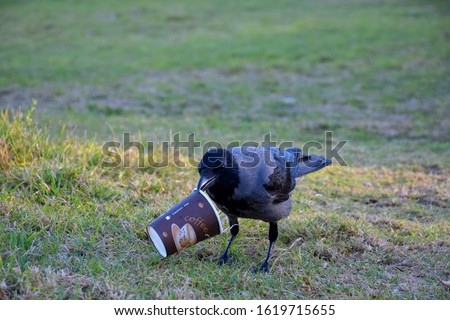 Single crow bird looking for food on the grass in the park, holding disposable hot coffee paper cup in it's beak (made from paper AND plastic coated, non compostable material, need special compost)   #1619715655