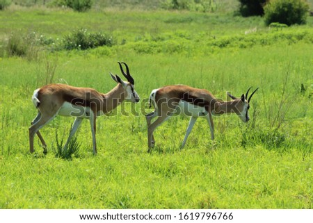A picture of springboks (antelopes) in South Africa