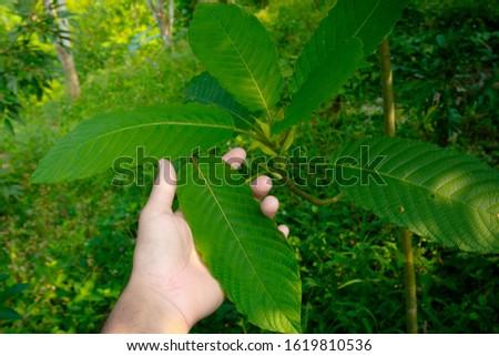 Kratom leaves Mitragyna speciosa leaf natural herbs Asian herbs, Thai herbs #1619810536
