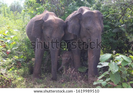 A family of wild elephants including the mother, father and child in a forest. The child is protected in between the two parents. #1619989510