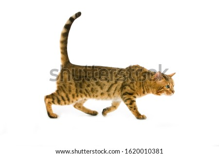 BROWN SPOTTED TABBY BENGAL DOMESTIC CAT   #1620010381