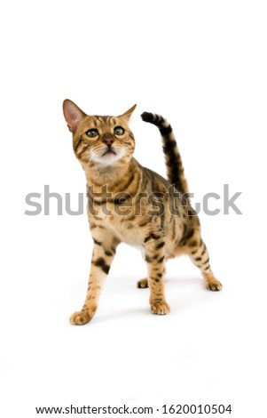 BROWN SPOTTED TABBY BENGAL DOMESTIC CAT   #1620010504