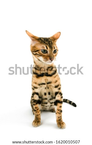 BROWN SPOTTED TABBY BENGAL DOMESTIC CAT   #1620010507
