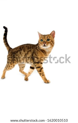BROWN SPOTTED TABBY BENGAL DOMESTIC CAT   #1620010510