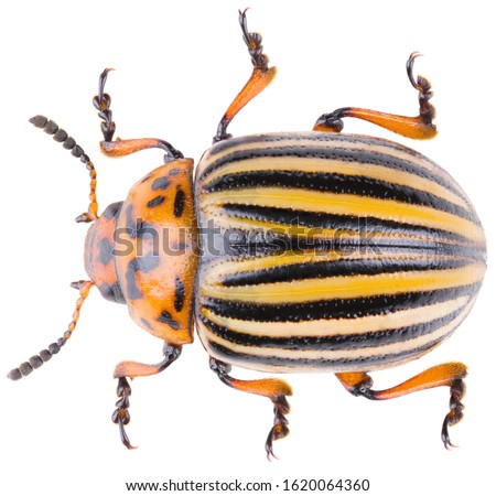 The Colorado potato beetle Leptinotarsa decemlineata, or Colorado beetle, ten-striped spearman, ten-lined potato beetle or the potato bug. Dorsal view of potato beetle isolated on white background. #1620064360