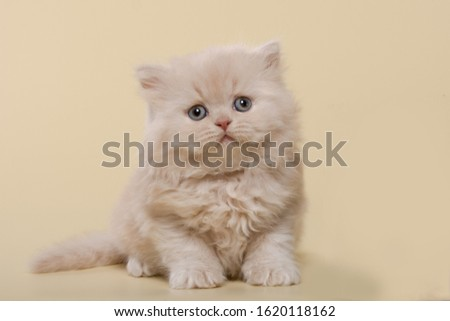 beautiful British shorthair and long-haired cream (beige) kitten on a beige background #1620118162