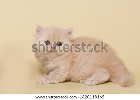 beautiful British shorthair and long-haired cream (beige) kitten on a beige background #1620118165
