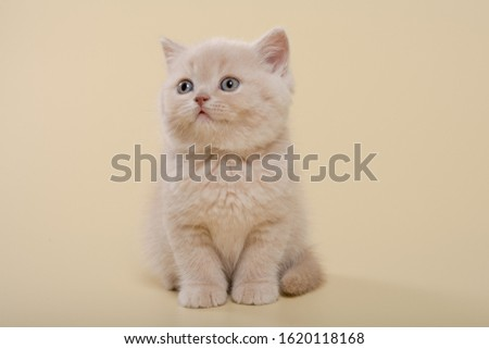 beautiful British shorthair and long-haired cream (beige) kitten on a beige background #1620118168