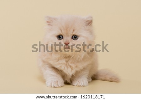 beautiful British shorthair and long-haired cream (beige) kitten on a beige background #1620118171