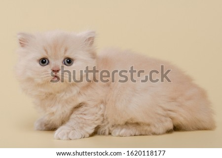 beautiful British shorthair and long-haired cream (beige) kitten on a beige background #1620118177