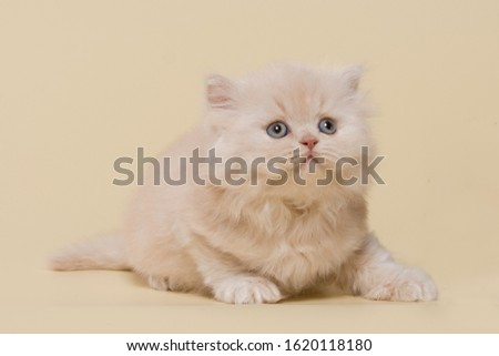beautiful British shorthair and long-haired cream (beige) kitten on a beige background #1620118180