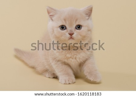 beautiful British shorthair and long-haired cream (beige) kitten on a beige background #1620118183