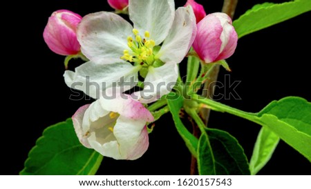Chubushnik is a genus of shrubs from the Hortense family. In Russia, this shrub is often incorrectly called jasmine for the pronounced sweet aroma of flowers in some species of mock #1620157543