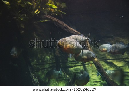 A picture of red-bellied piranhas swimming in the aquarium.   Vancouver Aquarium  BC Canada