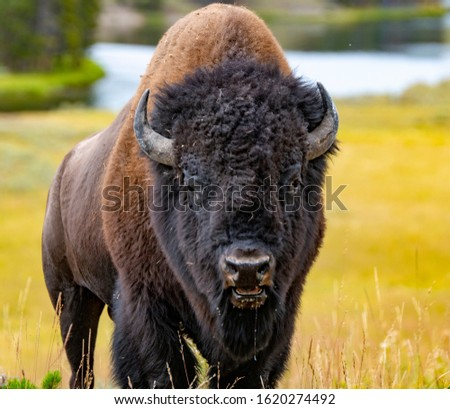 A close-up picture of a wild bison in a grassy meadow in the north central plains, showing the details of the majestic animal's face, horns and fur