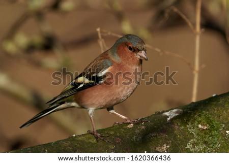 Common chaffinch (Fringilla coelebs) in its natural habitat in Denmark #1620366436