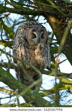 Long-eared owl (Asio otus) in its natural habitat in Denmark #1620367996