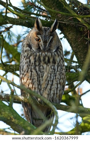 Long-eared owl (Asio otus) in its natural habitat in Denmark #1620367999