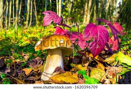 Mushroom in autumn forest scene. Mushroom at red autumn leaves. Autumn mushroom. Mushroom in autumn #1620396709