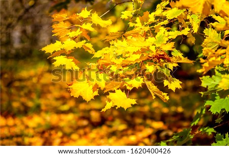 Autumn maple leaves scene. Autumn maple leafs. Golden autumn maple leaves. Autumn maple leafs view #1620400426