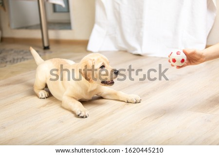 Labrador puppy plays with its owner. Dog playing in game with man close up. Royalty-Free Stock Photo #1620445210