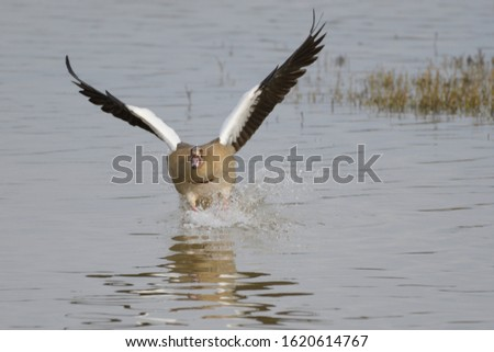 The Egyptian Goose (Alopochen aegyptiacus) is a member of the duck, goose, and swan family Anatidae. At the time of landing in the lagoon.
