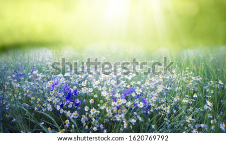 Beautiful field meadow flowers chamomile and violet wild bells in morning green grass in sunlight, natural landscape, close-up. Delightful pastoral airy fresh artistic image nature.