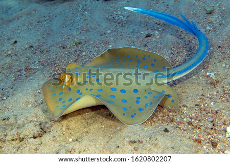 Blue - spotted stingray in Red sea
