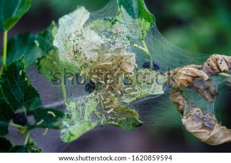 mulberry disease. Tree disease. Gardening Ecological Growing #1620859594