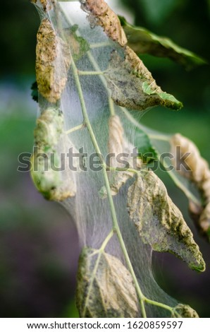 mulberry disease. Tree disease. Gardening Ecological Growing #1620859597