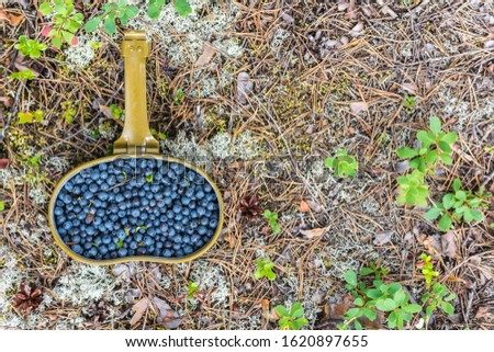 Fresh blueberries hand picked on swamp in an army bowler hat #1620897655