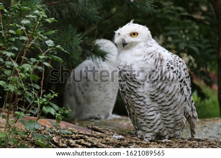 The picture is showing two snow owls