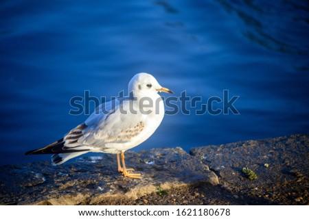 Black-headed gull in winter plumage in Kelsey Park, Beckenham, Greater London. A black-headed gull stands by the lake in Kelsey Park, Beckenham, Kent. Black-headed gull (Larus ridibundus), UK. #1621180678