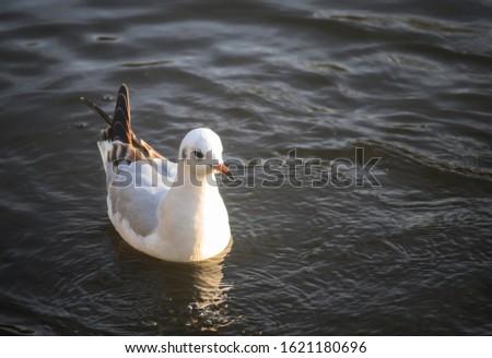 Black-headed gull in winter plumage in Kelsey Park, Beckenham, Greater London. A black-headed gull swims on the lake in Kelsey Park, Beckenham, Kent. Black-headed gull (Larus ridibundus), UK. #1621180696
