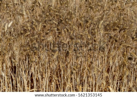 Harvest of wheat Texture of wheat #1621353145