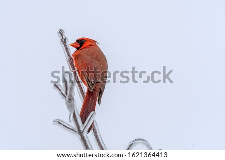 A Red Cardinal Bird on a Branch in the Woods. The cardinal is the state bird of Illinois, Indiana, Ohio, Kentucky, North Carolina, Virginia, and West Virginia. The cardinal in this picture pops out be