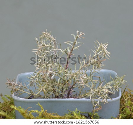 growing cuttings of evergreen shrubs at home #1621367056