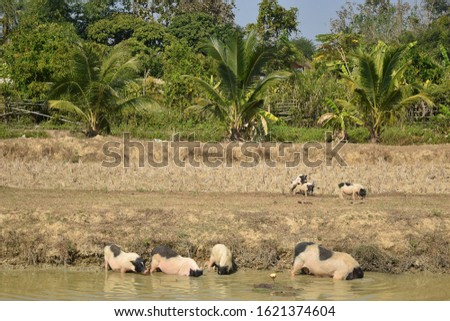 this pic show a lot miniature pig cultured and playing in pond at open outdoor rearing farm #1621374604